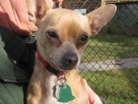 Chihuahua - Chevy - Small - Adult - Male - Dog Hey