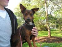 Chihuahua - Chewy-adopted!! - Small - Adult - Male -