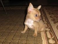 Chihuahua - Chi Chi - Small - Young - Female - Dog *