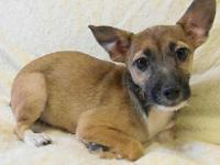 Chihuahua - Chi Mix Pup- Brown - Small - Baby - Male -