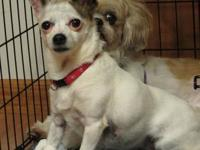 Chihuahua - Chica - Small - Adult - Female - Dog Hi