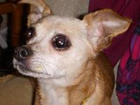 Chihuahua - Chica - Small - Adult - Female - Dog Chica