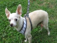 Chihuahua - Chico - Small - Adult - Male - Dog Chico