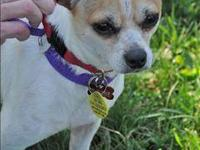 Chihuahua - Chico - Small - Adult - Male - Dog Hi, I'm