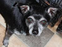 Chihuahua - Chico - Small - Adult - Male - Dog Shorty