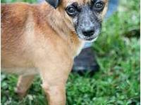 Chihuahua - Chico - Small - Young - Male - Dog This