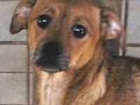 Chihuahua - China Chiweenie - Small - Young - Female -