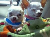 Chihuahua - Chiquita - Small - Adult - Female - Dog My