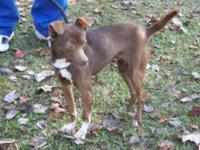 Chihuahua - Chiquita - Small - Adult - Female - Dog