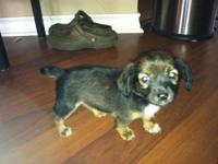 Chihuahua - Chloe - Small - Young - Female - Dog Chloe