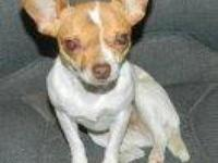 Chihuahua - Cirease - Small - Senior - Female - Dog