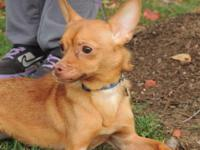 Chihuahua - Cleo - Small - Adult - Female - Dog For