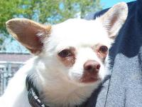 Chihuahua - Coco - Small - Young - Female - Dog