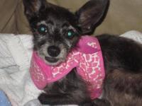 Chihuahua - Coco (teacup) - Small - Senior - Female -