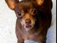 Chihuahua - Cocoa - Small - Adult - Female - Dog