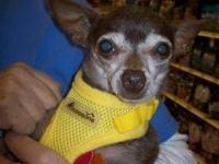 Chihuahua - Coconut - Small - Adult - Male - Dog Meet
