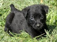 Chihuahua - Coqui - Small - Baby - Female - Dog THIS IS