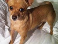 Chihuahua - Crackers - Small - Adult - Male - Dog Email