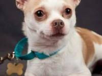 Chihuahua - Cricket - Small - Adult - Male - Dog