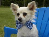 Chihuahua - Crispen - Small - Adult - Male - Dog