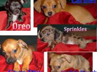??Tiny Mexican Hot Dog ??Chiweenie?? 8wk Pups?? $350