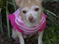 Chihuahua - Daisy - Small - Senior - Female - Dog