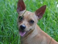 Chihuahua - Dana - Small - Young - Female - Dog Please