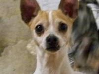 Chihuahua - Danielle - Small - Adult - Female - Dog