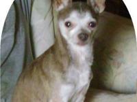 Chihuahua - Della - Small - Senior - Female - Dog Hello