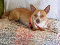 Chihuahua - Dempsey - Small - Young - Male - Dog