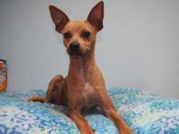Chihuahua - Dippy-- Adoption Special! - Small - Young -