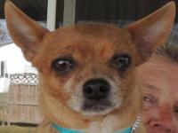 Chihuahua - Dixie - 10 Lbs Sweetheart! - Small - Adult