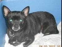 Chihuahua - Dixie (in Foster) - Small - Young - Female