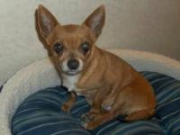Chihuahua - Dixie-sweetheart!! - Small - Adult - Female