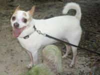 Chihuahua - Dollar - Small - Adult - Male - Dog