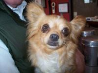 Chihuahua - Dolly - Small - Adult - Female - Dog Hello