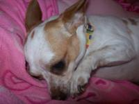 Chihuahua - Dot Dot - Small - Adult - Female - Dog