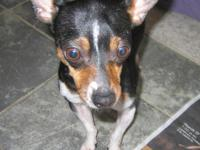 Chihuahua - Eddie - Small - Young - Male - Dog Eddie