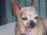 Chihuahua - Effie Mae - Small - Senior - Female - Dog