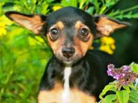 Chihuahua - Elaine - Small - Adult - Female - Dog Hey