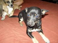 Chihuahua - Elaine - Small - Young - Female - Dog