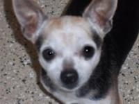 Chihuahua - Elmer Chi - Small - Senior - Male - Dog