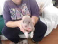 elvis is 8 week aged aca regiestered chihuahua has had