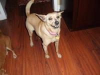 Chihuahua - Emma ( I Am A Darling Little Girl!) - Small