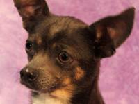 Chihuahua - Esme (chiweenie/pug) - Small - Young -