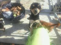 Chihuahua - Eva - Small - Young - Female - Dog Eva 1 yr