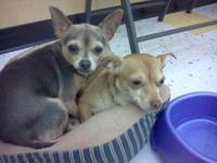 Chihuahua - Faith & Hope - Small - Adult - Female -