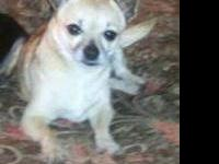 Chihuahua - Fawn - Small - Adult - Female - Dog This