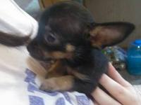 I have one Chihuahua female black with tan points, 8