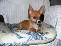 I have a 12 wk old short hair Fawn female Chihuahua